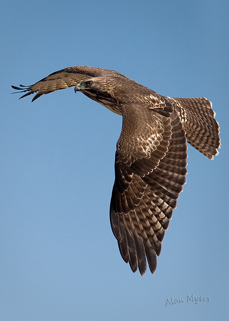 Redtail flyby