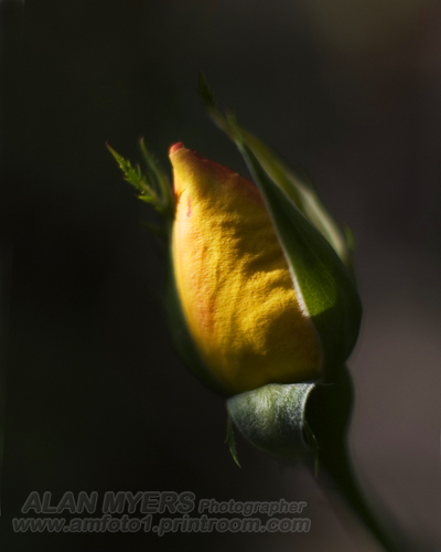 Rose bud chiaroscuro