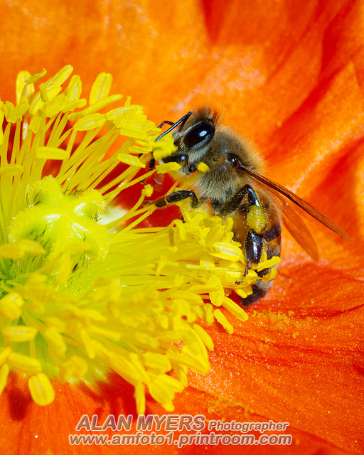Bee on orange poppy