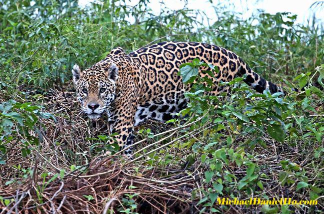 Jaguar stalking in the Pantanal, Brazil