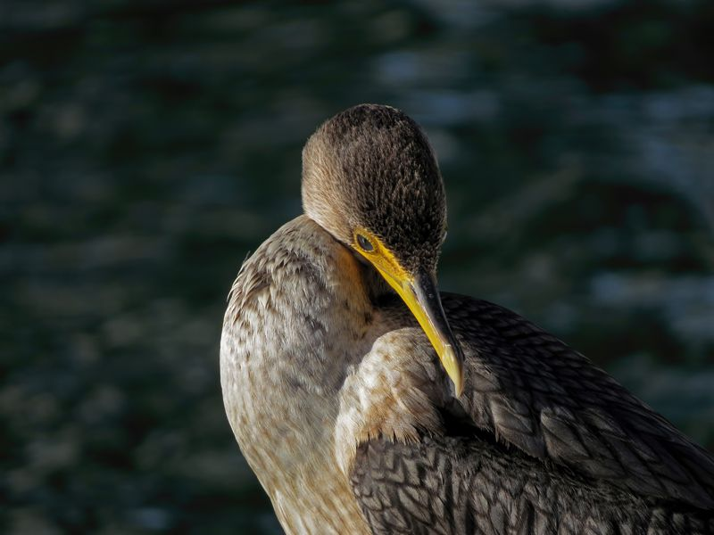 cormorants tony britton 2016.jpg