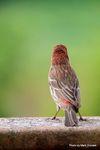Standoffish Finch (2).jpg