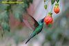 Green Violetear Hummingbird feeding on nectar at 12,000 feet